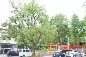 深川神社(愛知県瀬戸市)クスノキ
