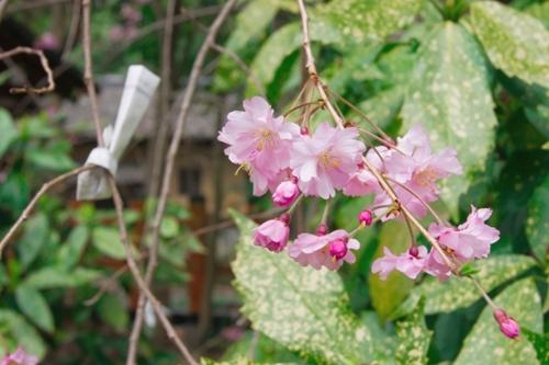 八坂神社の八重桜とおみくじ