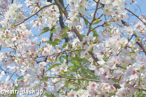 千代保稲荷神社名古屋支所(名古屋市千種区)桜