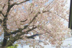 雲龍山喜見寺(名古屋市熱田区)境内の桜