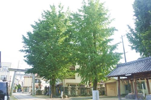 能見神明宮(愛知県岡崎市)大銀杏