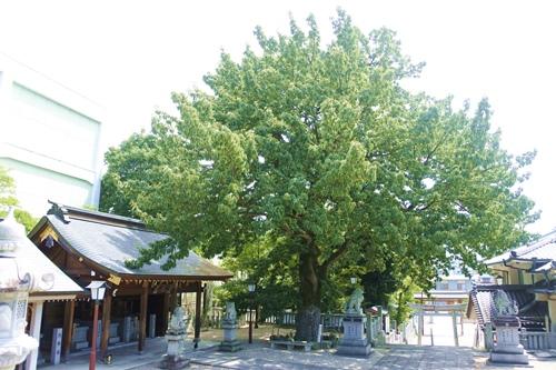 伊勝八幡宮(名古屋市昭和区)アベマキ(御神木・市指定保存樹)