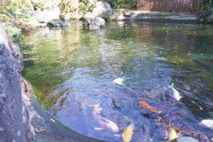 愛宕神社(東京都港区)池と鯉