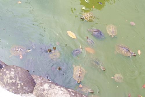 川原神社(名古屋市昭和区)池の亀