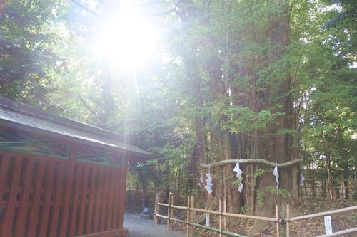 大國魂神社(東京都府中市)大銀杏