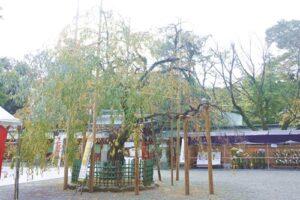 大國魂神社(東京都府中市)しだれ桜