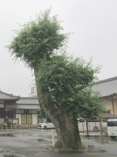 長栄寺(名古屋市中区)大銀杏(化銀杏・名古屋市保存樹)