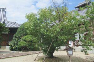 曹源寺(愛知県豊明市)彼岸桜